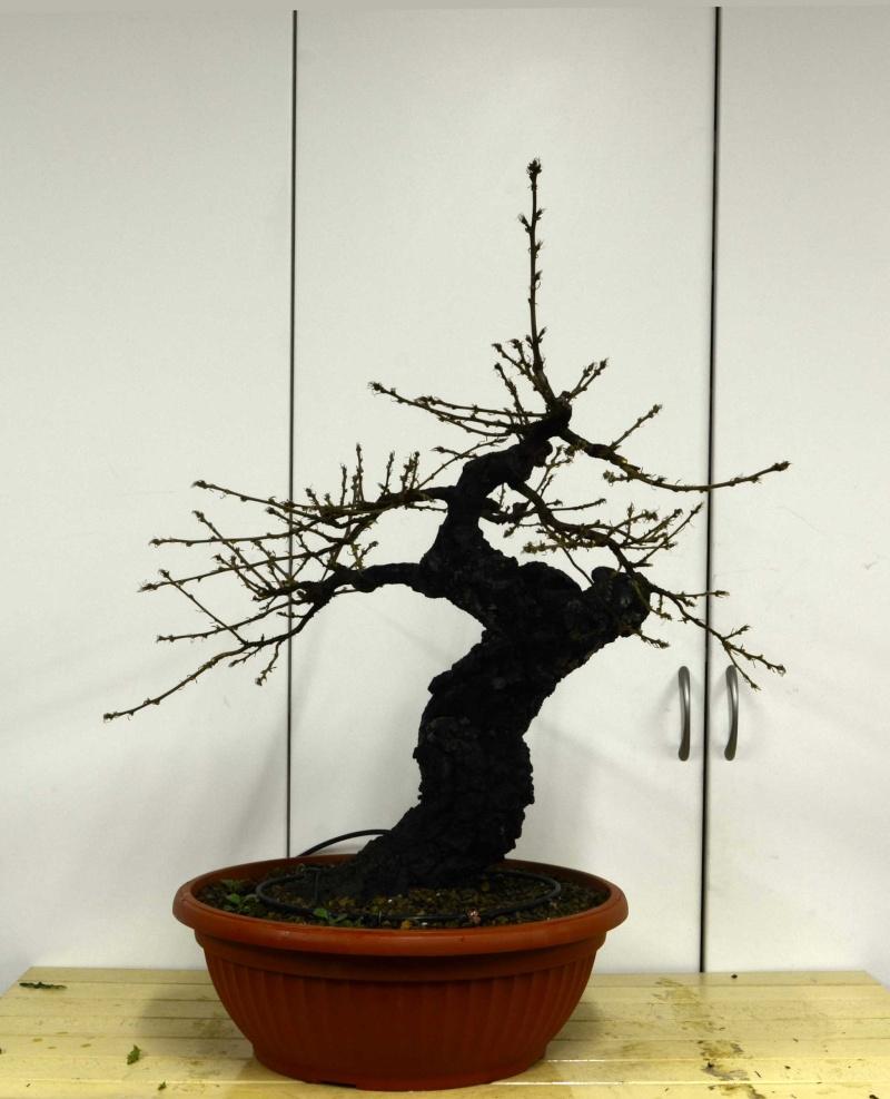 Quercus cerris - Pagina 5 Fronte12