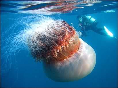 Algunos de los animales más grandes de la historia Cyanea10