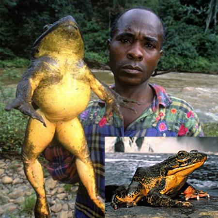 Algunos de los animales más grandes de la historia Rana_g10