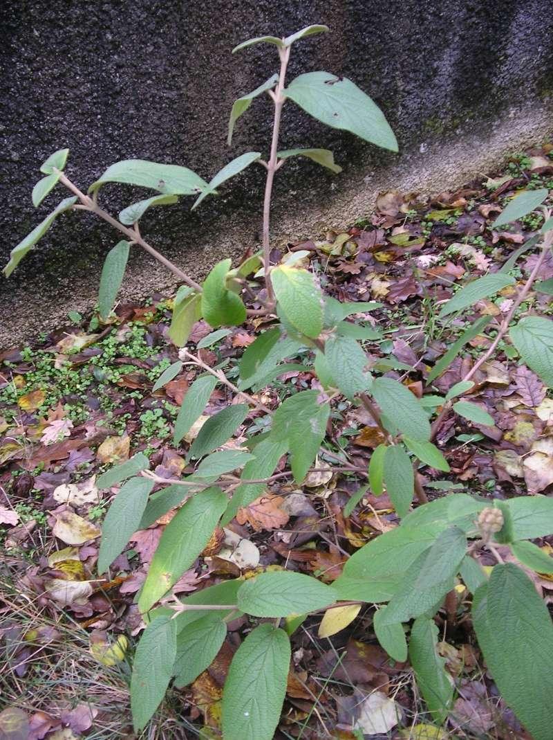 Quel est son nom ? viburnum rhytidophyllum. Imgp0019