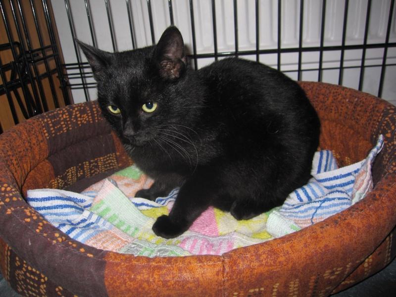 joliecat - JOLIECAT, femelle type européen noire, née le 20/07/2014 Img_0748