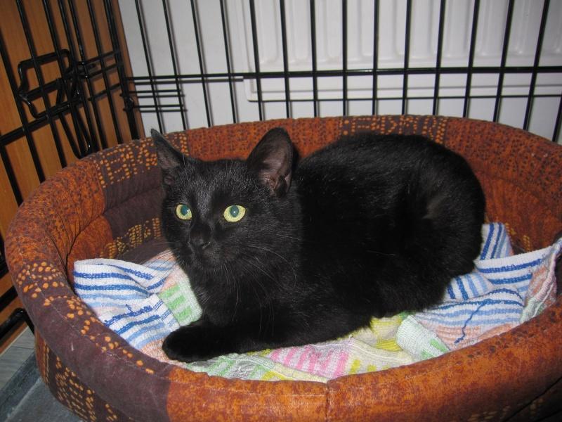joliecat - JOLIECAT, femelle type européen noire, née le 20/07/2014 Img_0810