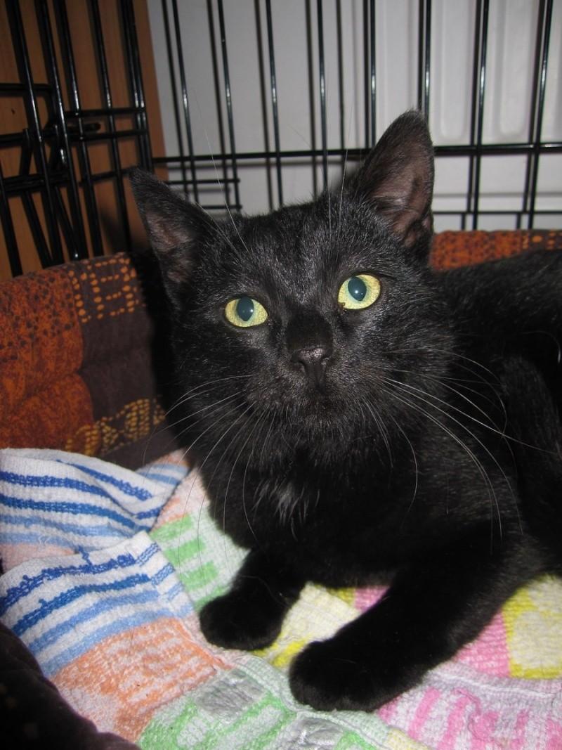 joliecat - JOLIECAT, femelle type européen noire, née le 20/07/2014 Img_0811