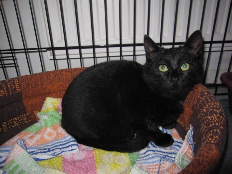 joliecat - JOLIECAT, femelle type européen noire, née le 20/07/2014 Img_0812