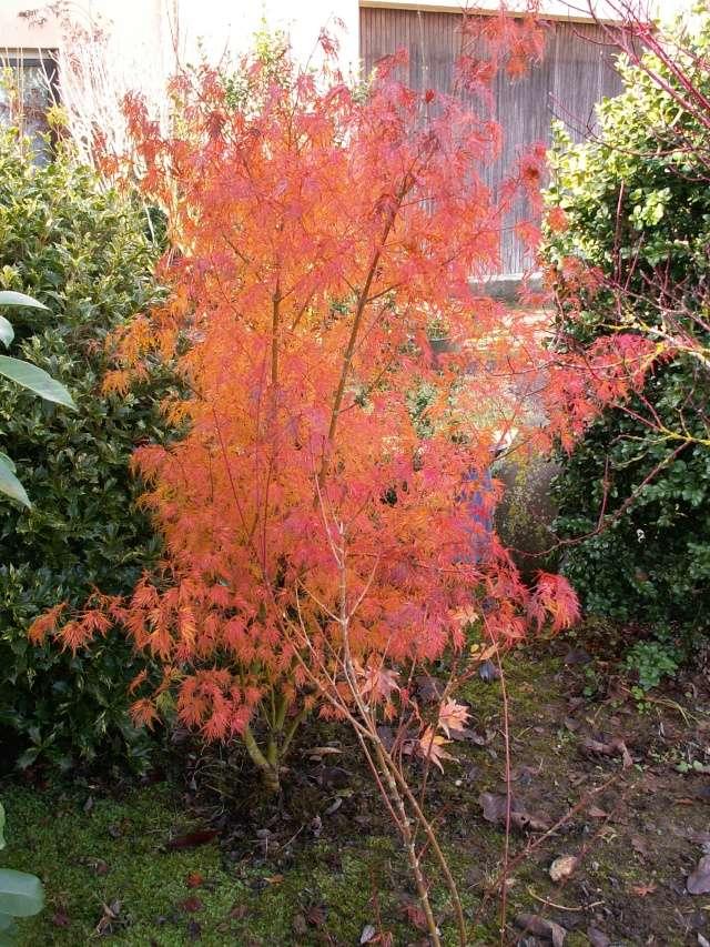 derniers flamboiements  au jardin  - Page 3 Acer_d11