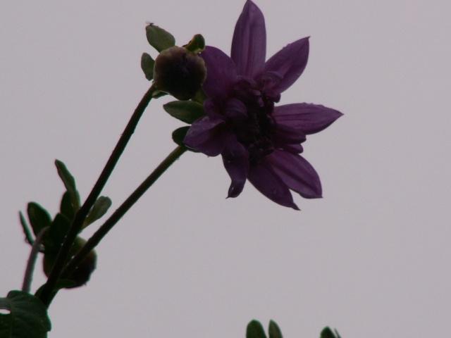 Dahlia imperialis - Page 3 Dalhia10
