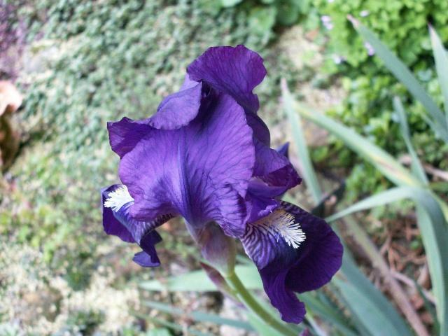 jardin des brumes Iris2_10