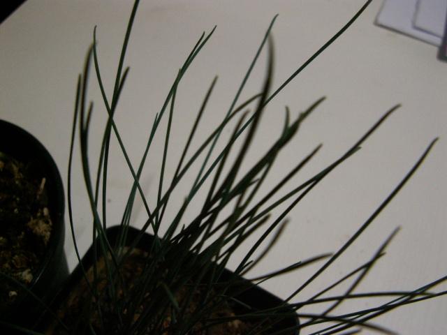 Albuca namaquensis et Albuca spiralis Pict0010