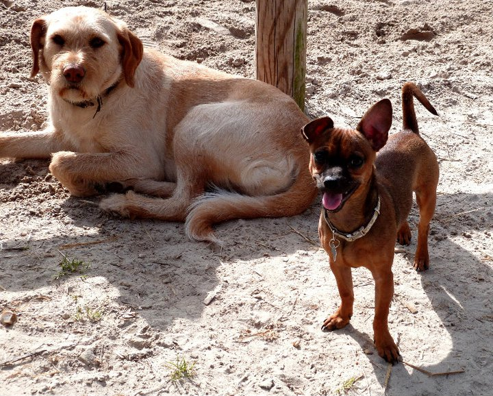 """Evolution """"physique"""" de vos chiens - Page 2 20692010"""