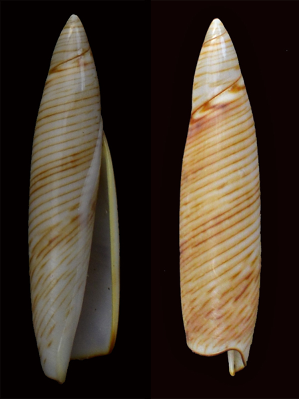 Terebellum_terebellum_(f)_lineata_Röding,1798 _dsc8111