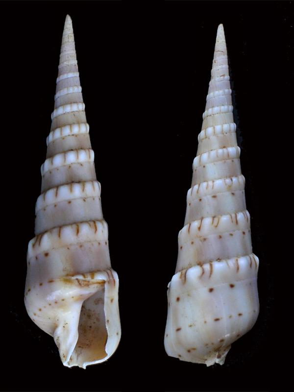 Oxymeris_crenulata (Linné_1758) _dsc8112