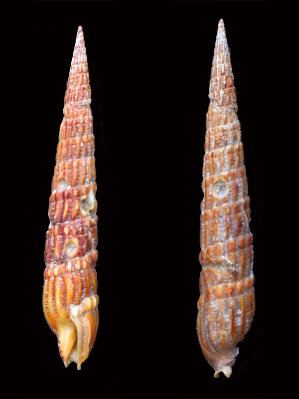 Myurella undulata (Gray, 1834) _dsc8119