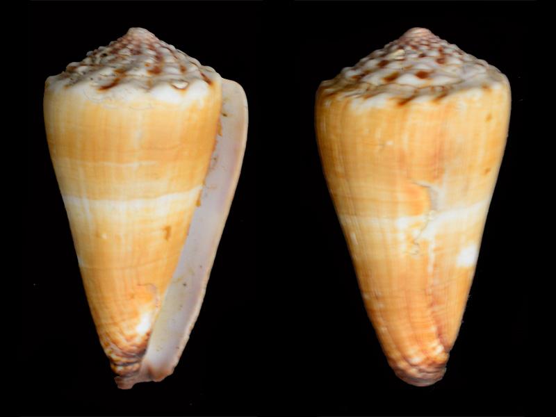 Conidae Conus (Fraterconus) distans   Hwass in Bruguière, 1792 - Page 3 _dsc8212
