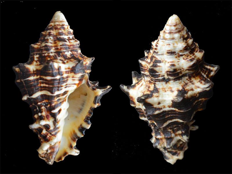 Vasum ceramicum - (Linnaeus, 1758) _dsc8315