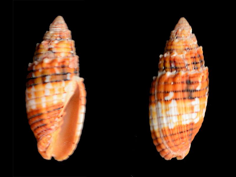 Quasimitra puncticulata - (Lamarck, 1811)  Mitra10