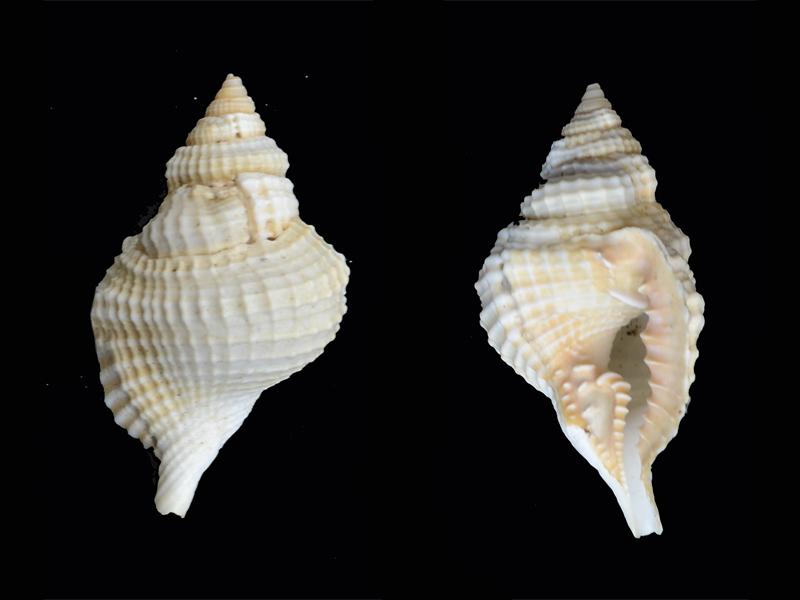 Distorsio_reticularis_Linné 1758 Pg-0110