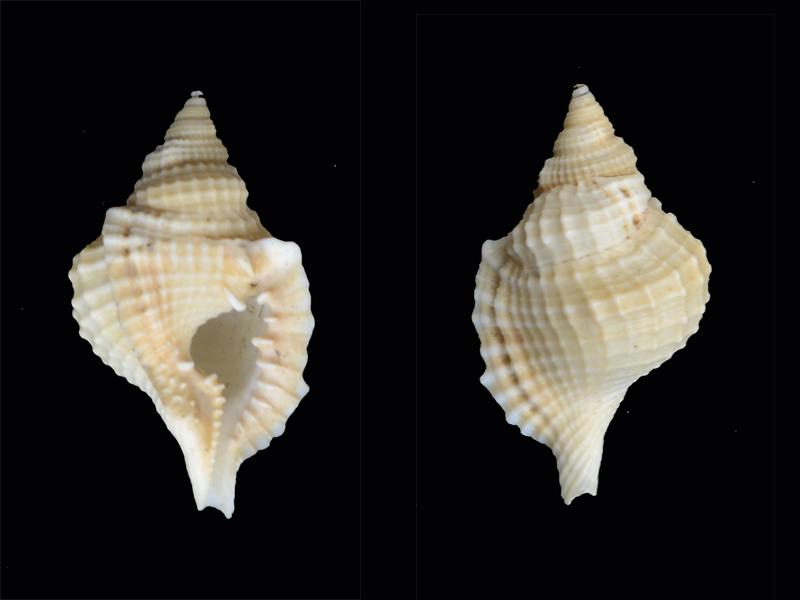 Distorsio_reticularis_Linné 1758 Pg-0210