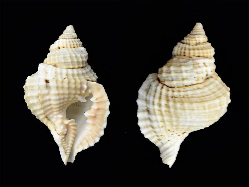 Distorsio_reticularis_Linné 1758 Pg-0410
