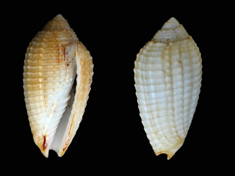 Pterigia_fenestrata_(Lamarck_1811) Pg-22a10