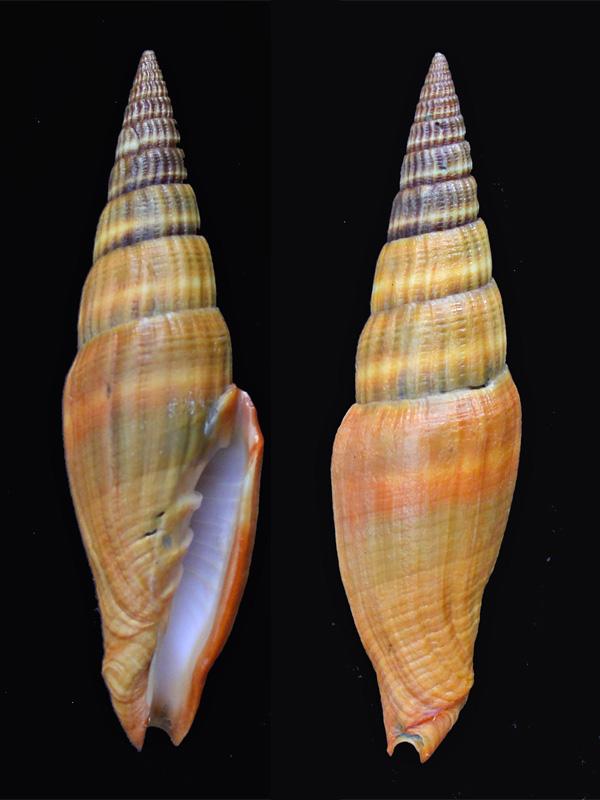Vexillum coccineum - (Reeve, 1844) Pg-25a10