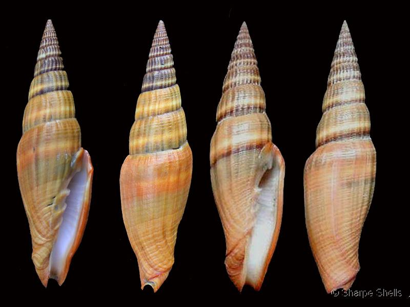 Vexillum coccineum - (Reeve, 1844) Pg-25b10