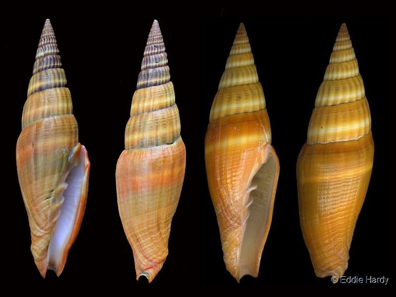 Vexillum coccineum - (Reeve, 1844) Pg-25c10