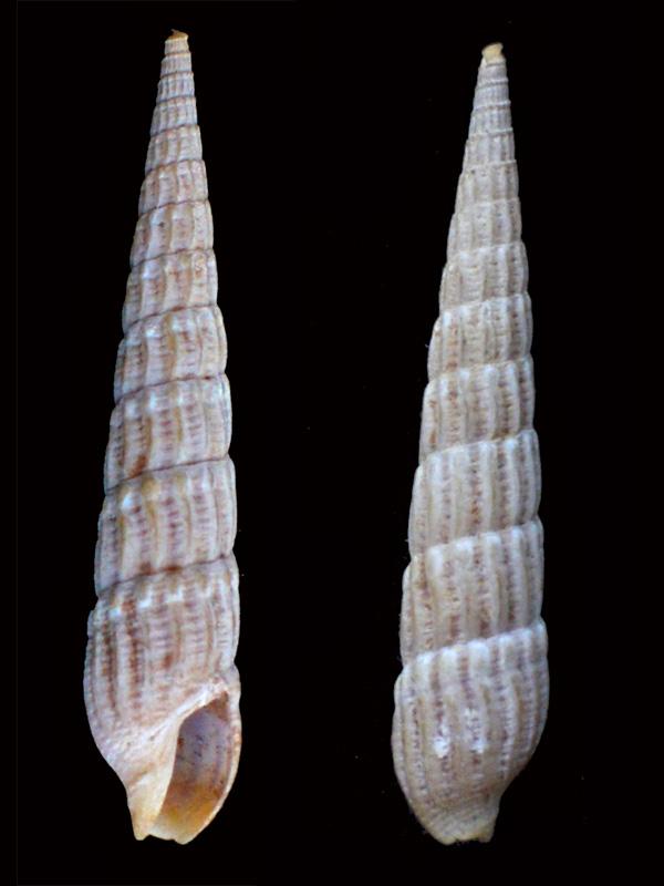 Myurella undulata (Gray, 1834) Pg2-0410