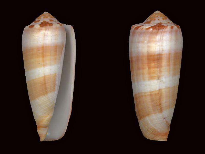 Conus (Pionoconus) circumcisus brazieri (Sowerby III, 1881) Pionoc11