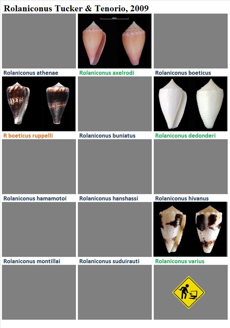 Conidae Rolaniconus (obsolète) - Le genre intégré à Conus (Strategoconus) Rolani10
