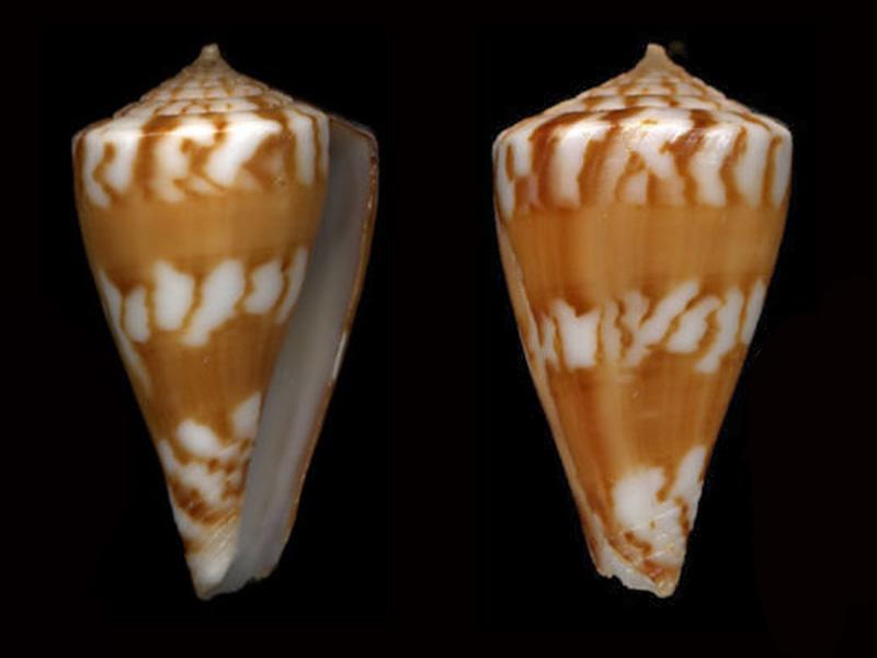 Stellaconus capitanellus (Fulton, 1938) Stella11