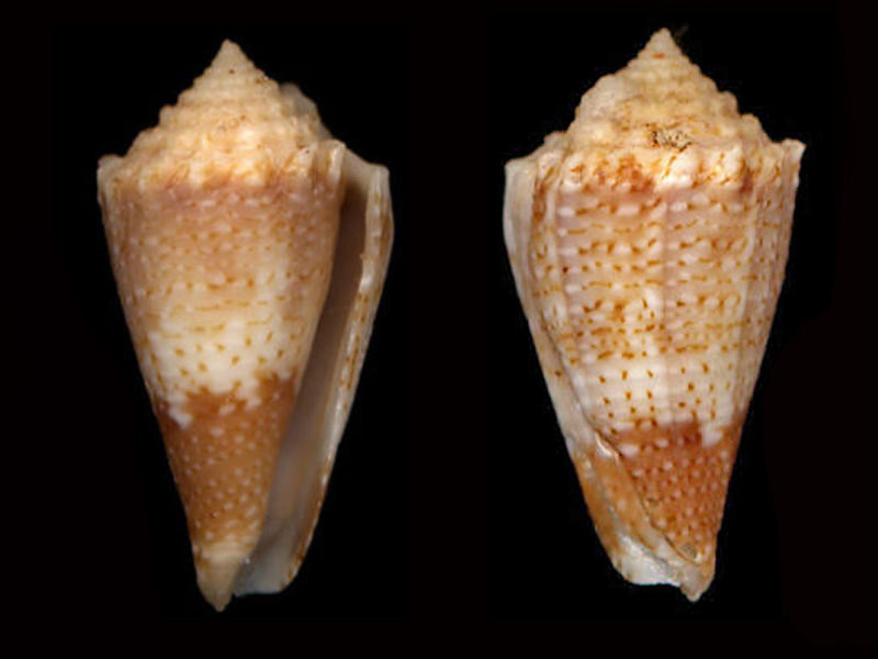 Conus (Stephanoconus) chiangi   Azuma, 1972 Tarant10