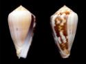 Conus  Linnaeus, 1758 C_ermi10