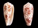 Conus  Linnaeus, 1758 D_omar10