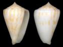 Conus  Linnaeus, 1758 E_colm10