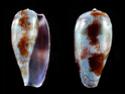 Conus  Linnaeus, 1758 G_tuli10