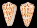 Conus  Linnaeus, 1758 K_byss10