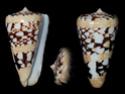 Conus  Linnaeus, 1758 L_ammi10