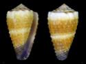 Conus  Linnaeus, 1758 L_muri10