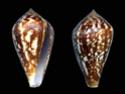 Conus  Linnaeus, 1758 L_tren10
