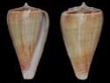 Conus  Linnaeus, 1758 Montei10