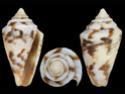 Conus  Linnaeus, 1758 P_bosc11