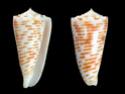Conus  Linnaeus, 1758 P_goud10
