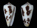 Conus  Linnaeus, 1758 P_magu10