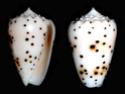 Conus  Linnaeus, 1758 P_puli10