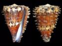 Conus  Linnaeus, 1758 R_capi11