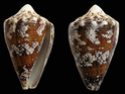 Conus  Linnaeus, 1758 S_regi10