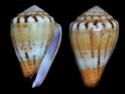 Conus  Linnaeus, 1758 Splino11
