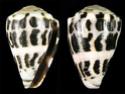 Conus  Linnaeus, 1758 V_ebra10