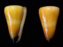 Conus  Linnaeus, 1758 V_emac10