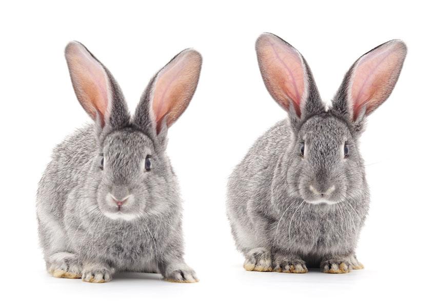 L'aluminium vaccinal, responsable de maladies incurables!  Rabbit10